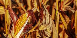 Walka z chwastami w kukurydzy